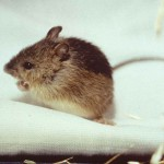 Prebles_meadow_jumping_mouse_endengered_mammal_species_zapus_hudsonius_preblei
