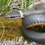 Ringneck-snake